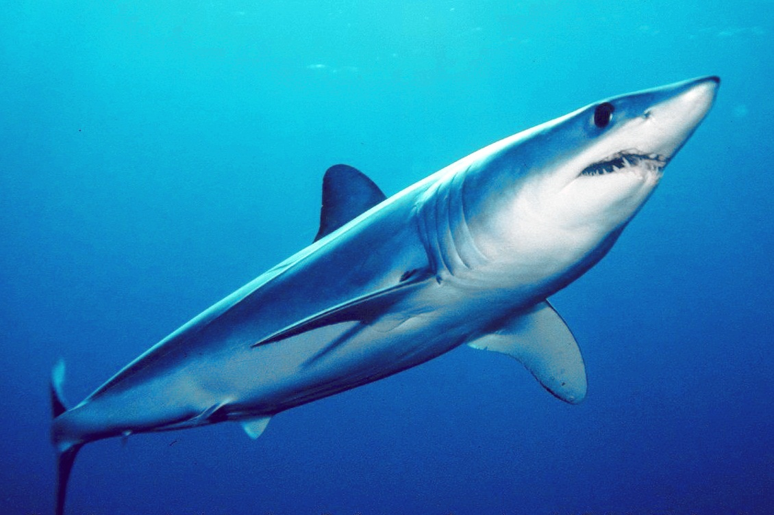 žralok mako
